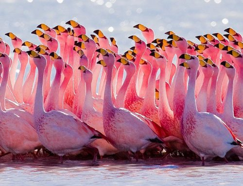 All about the FLAMINGOS